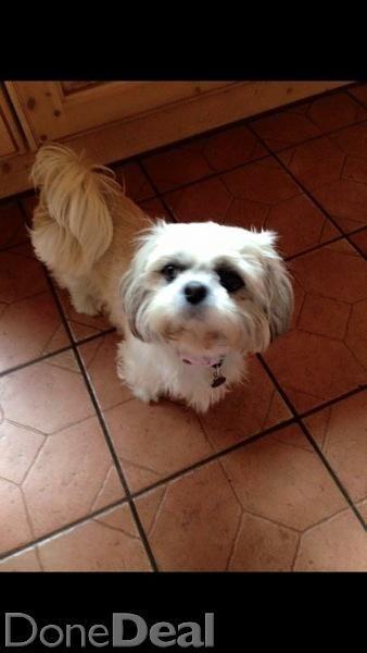 Pomeranian Shih Tzu Shihpom Puppies For Sale In Cavan On Dogs