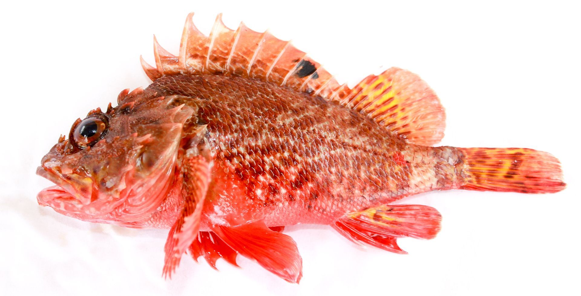 Scorpaena papillosa (Schneider & Forster, 1801) Red Rockcod, or red scorpionfish,
