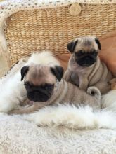 Pug Puppies For Adoption Image Eclassifieds4u Pug Puppies Puppy