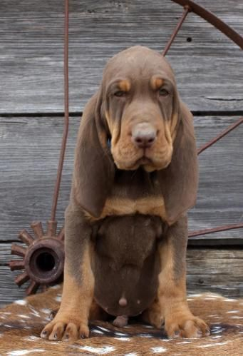Liver And Tan Bloodhound Puppies Animals Bloodhound