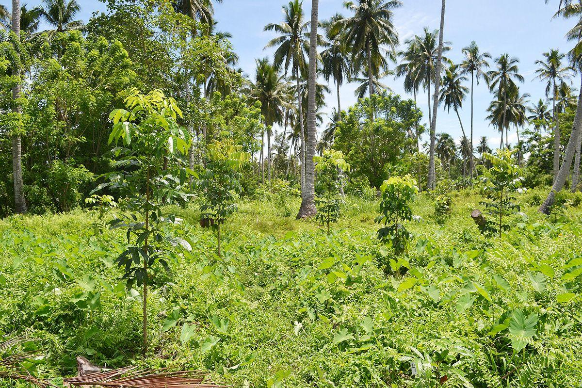Mahagonibäume  Mahagoni-Baum nach 17 Monaten, @Mama Earth Foundation Ich kauf mir ...