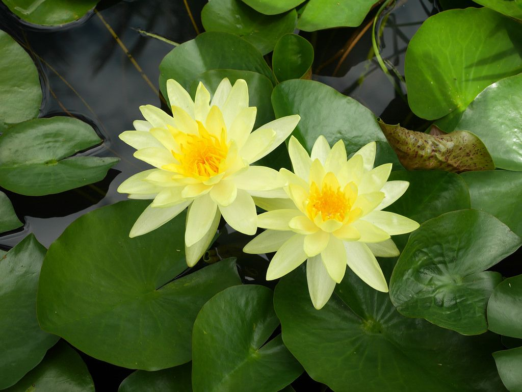Nymphaea Charlene Strawn Hardy Water Lily Thailand 001 Water Lilies