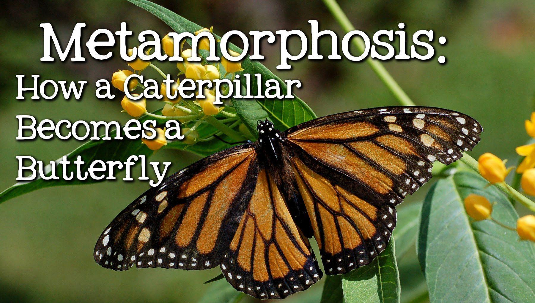 Metamorphosis Caterpillar To Butterfly For Children