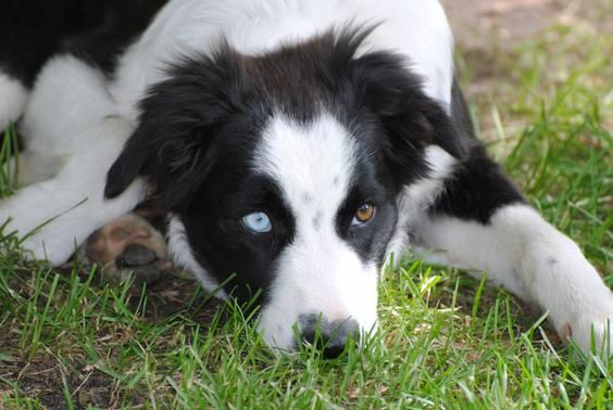 Two Different Colored Eyes Heterochromia Eyes Collie Mix