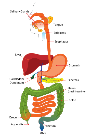 Digestive System Simplified Teaching Human Body Digestive