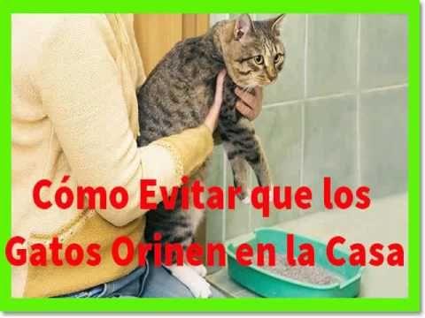 Cómo Evitar Que Los Gatos Orinen En Las Casa Orina De Gato Olores De Orina De Gato Gatos