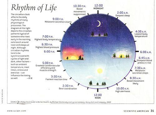 3878897 circadian rhythm body clock jpg 500 369 pinterest