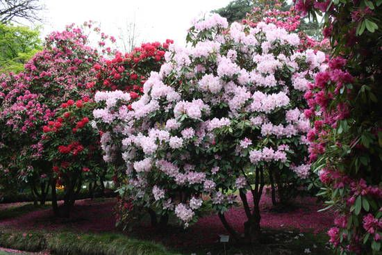 rododendro - Buscar con Google