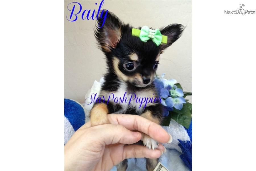 Applehead Micro Teacup Long Hair Chihuahua Baily Chihuahua Puppies For Sale Chihuahua Long Haired Chihuahua Puppies