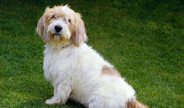 Petit Basset Griffon Vendeen Breed Information Basset Lap Dogs Dogs