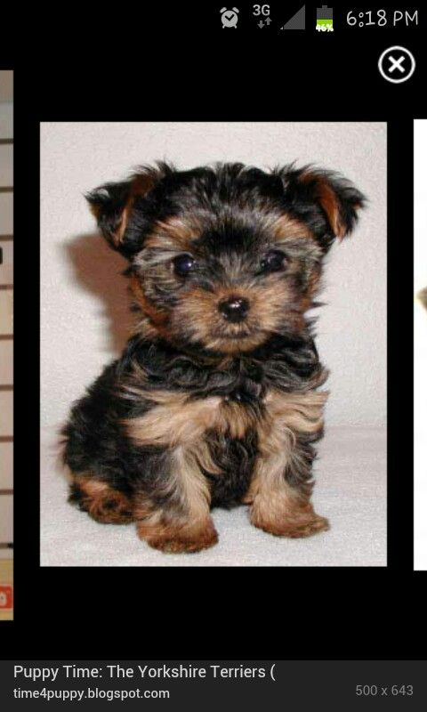 So Cute Dog Breeds That Dont Shed Hypoallergenic Dog Breed Yorkie Puppy