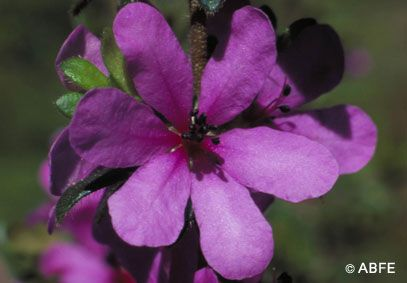 Dog Rose Of The Wild Horses Healing Flowers Flower Remedy Flower Essences