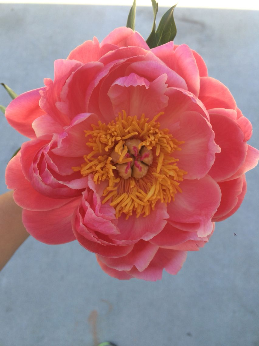 Coral Charm Peony starts bright and then fades to the perfect blush ...