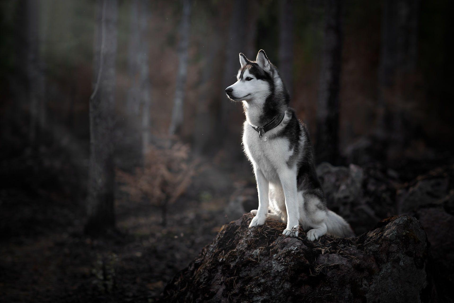 Forest Dog Husky 1080p Wallpaper Hdwallpaper Desktop In 2020 Husky Grey Dog Dogs