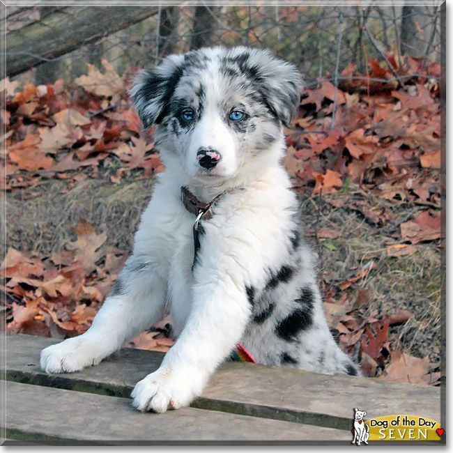 Read Seven S Story The Border Collie From Oshawa Ontario Canada And See His Photos At Dog Of The D Border Collie Puppies Collie Puppies Cute Dogs And Puppies