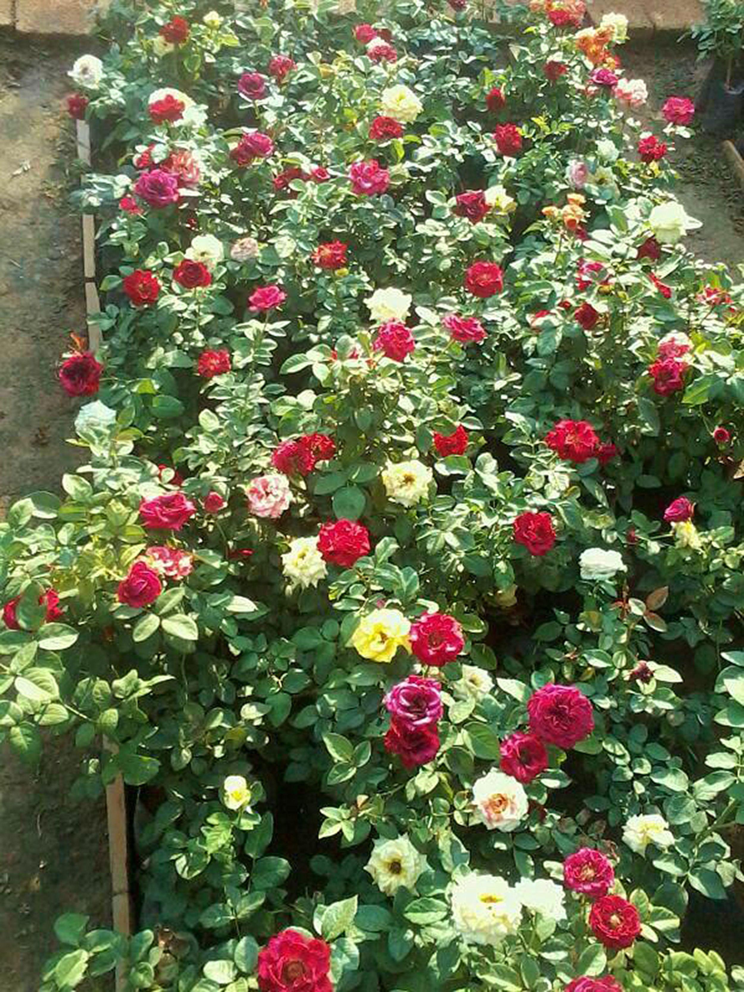 Roses at a Bangalore Nursery | Garden ideas | Pinterest | Garden ...