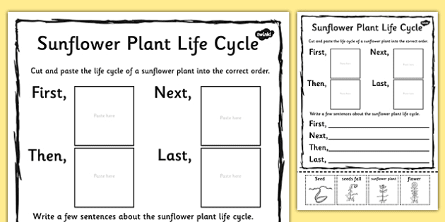 Sunflower Plant Life Cycle Sentence Writing Activity Sheet ...