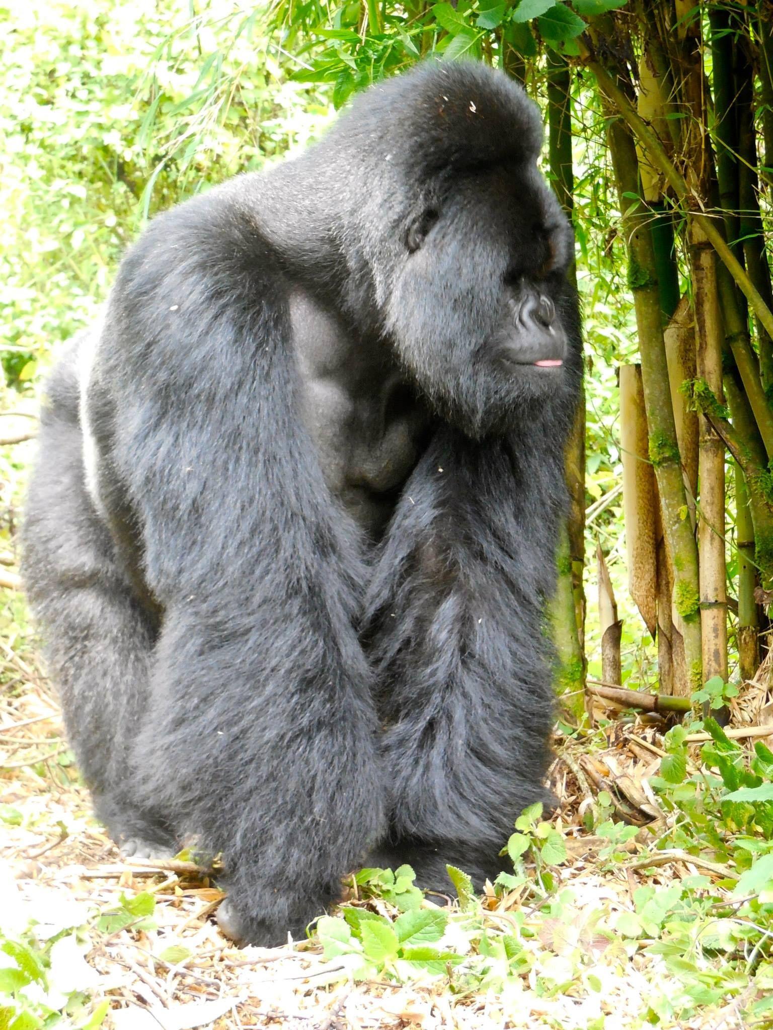 silverback gorillas rwanda africa travel safari african