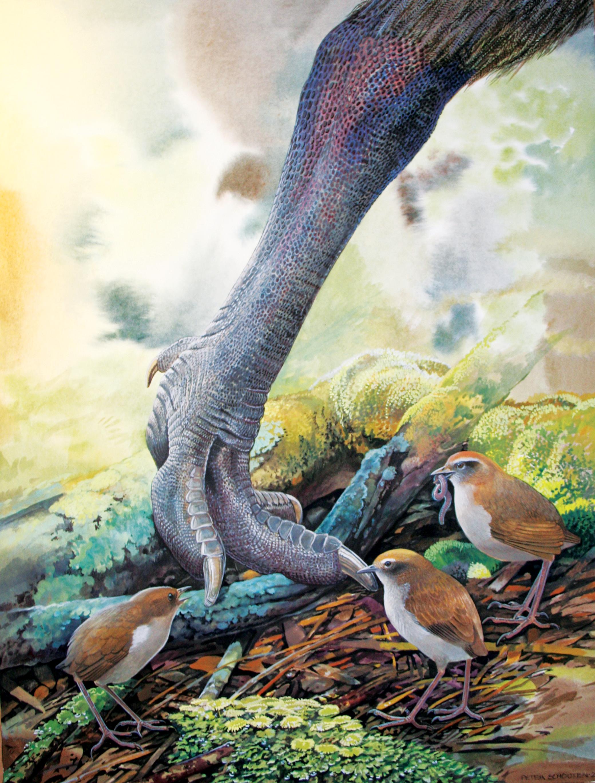 A pair of the now extinct wren Pachyplichas yaldwyni at