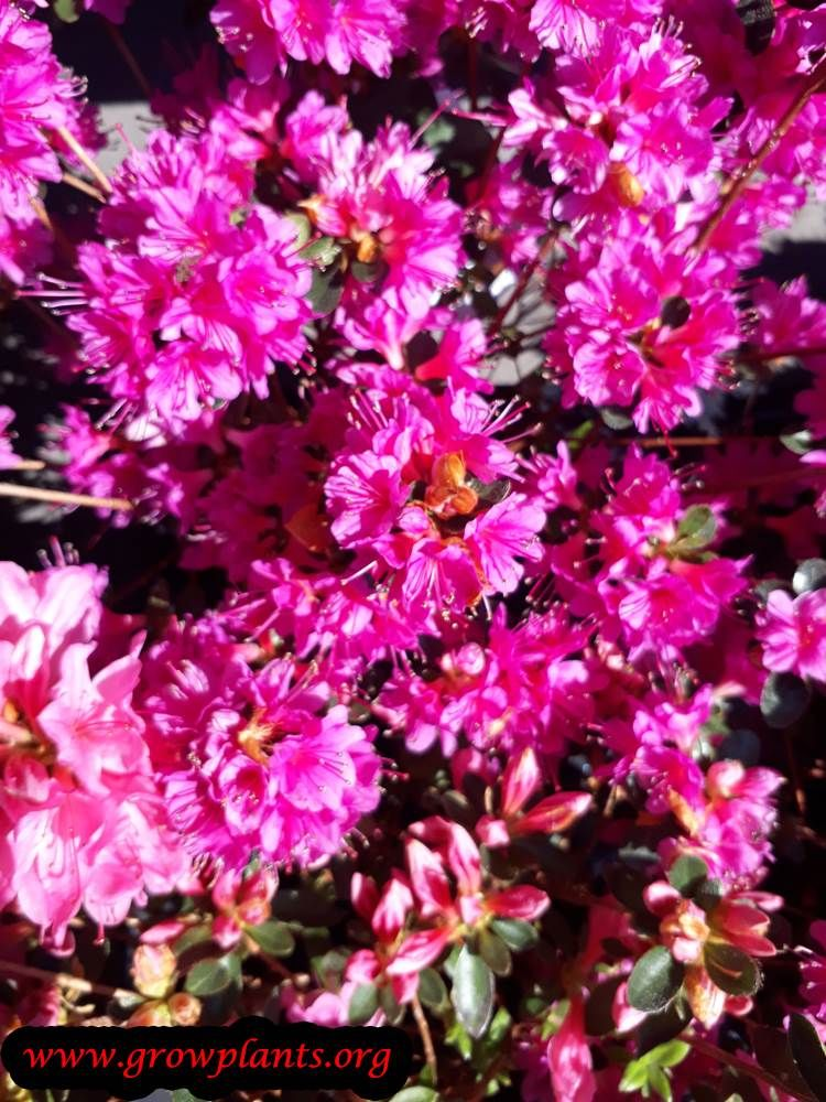 Azalea japonica How to grow & care Red plants, Orange