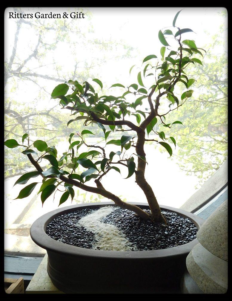 Ficus Benjamina Bonsai Ficus Benjamina Bonsai Garden Ficus