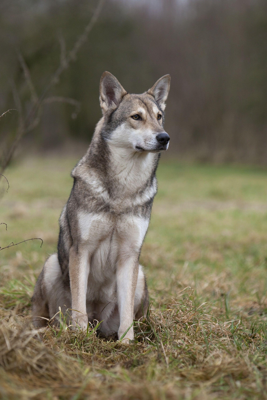 Chien-loup De Saarloos : chien-loup, saarloos, Épinglé, Tartempionne, Chien-loup, Saarloos, Chien, Loup,, Saarloos,