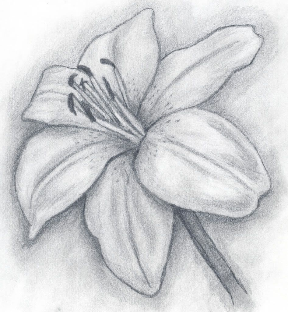 Lily+pencil+drawing images on Photobucket Art drawings