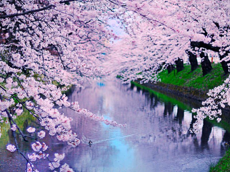 16 Curiosidades Sobre Los Cerezos En Flor Cherry Blossom Theme Cherry Blossom Blossom Trees