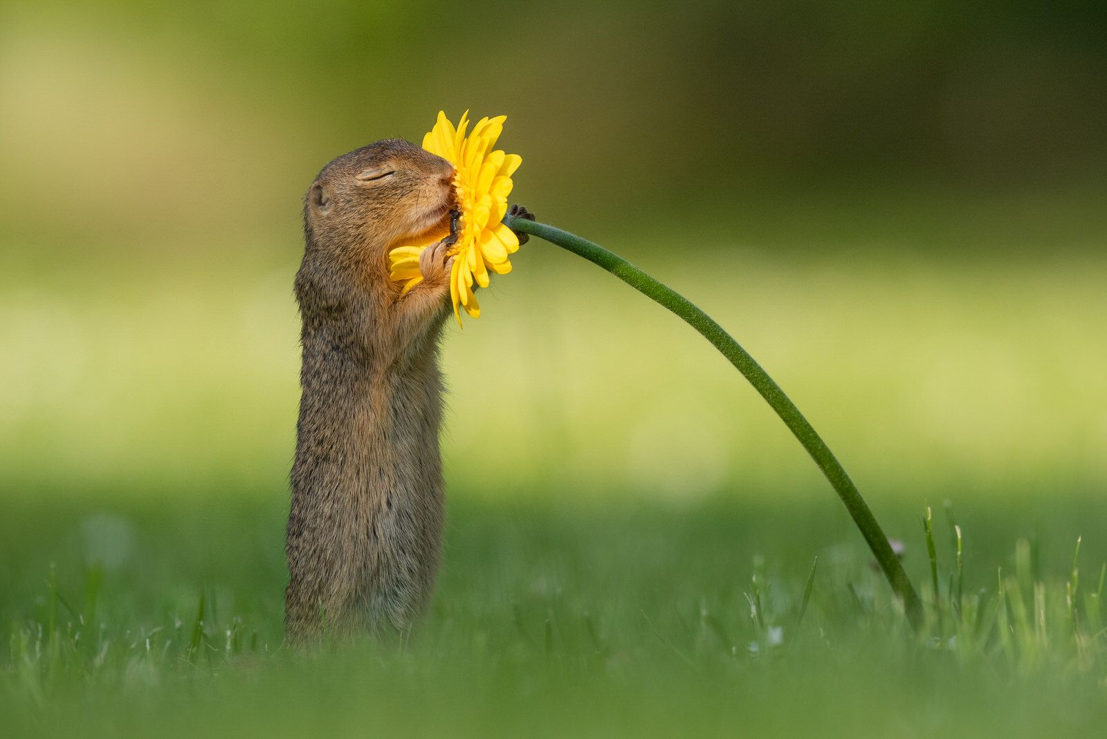 Photographer Catches Squirrel Stopping To Smell A Flower In 2020 Ground Squirrel Smelling Flowers Squirrel