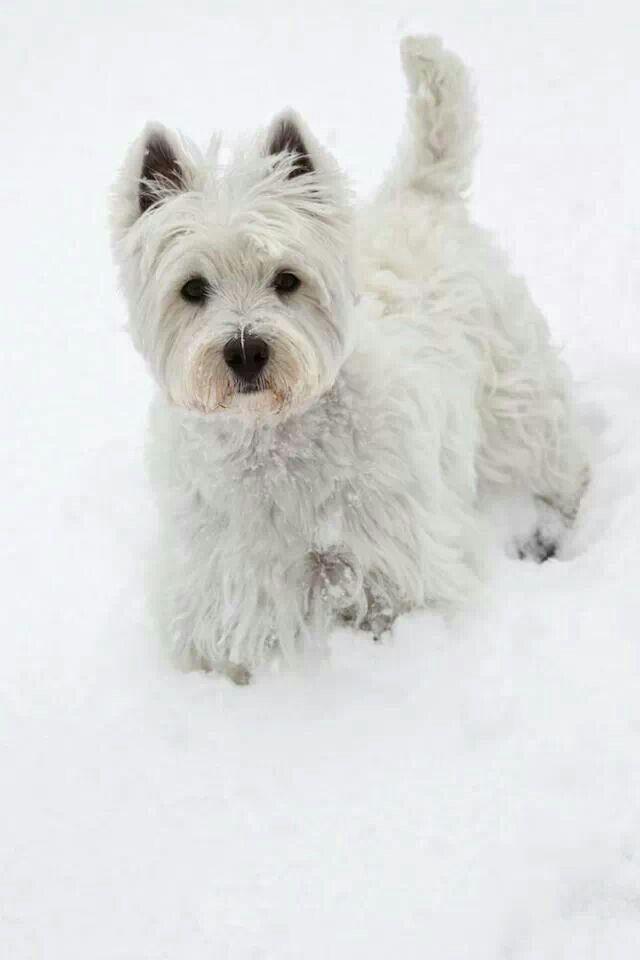 Westie Westie Puppies Westie Dogs Westies