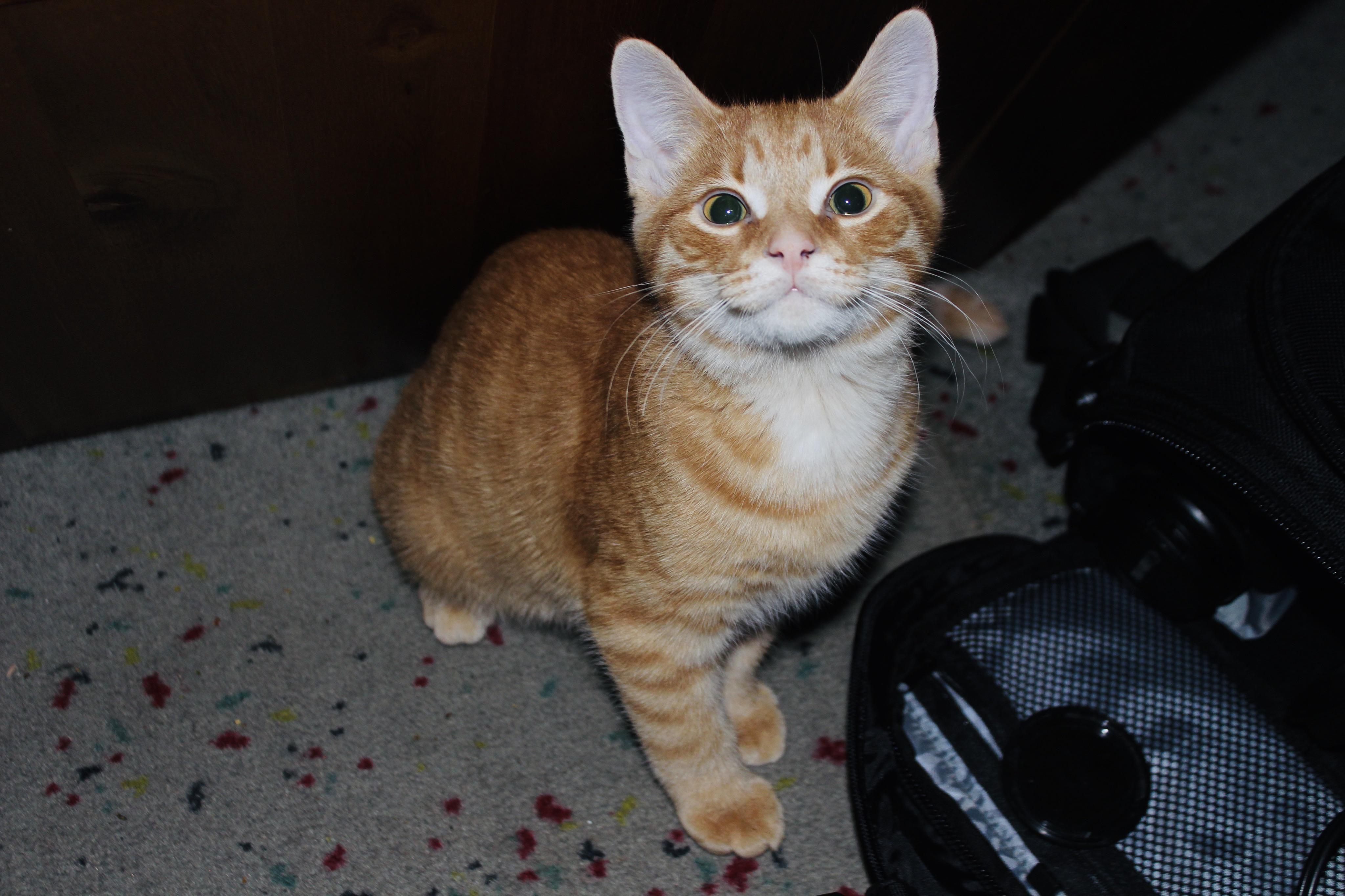 My Baby Boy In His Teenage Phase Https Ift Tt 2ctigk3 In 2020 Kitten Cat S Cat Pics