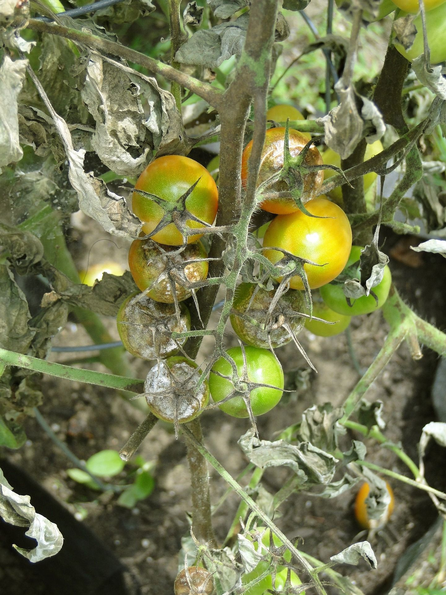 Tomato Leaf Problems A Visual Guide Tomato Disease Growing Tomato Plants Plant Diseases