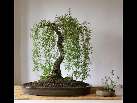 Dwarf Weeping Willow Bonsai Youtube Bonsai Tree Outdoor Bonsai Tree Garden Bonsai Tree