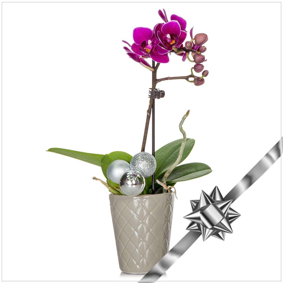 Silver Bells Mini Orchid