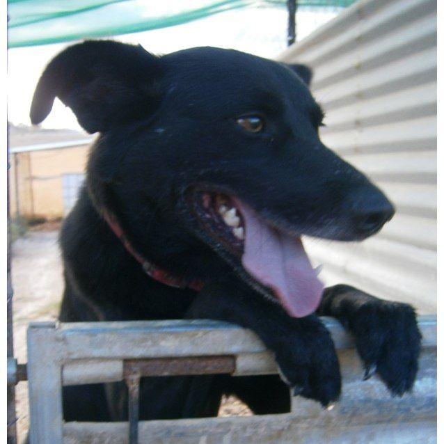 Ace Medium Male Kelpie x Labrador Mix Dog in QLD