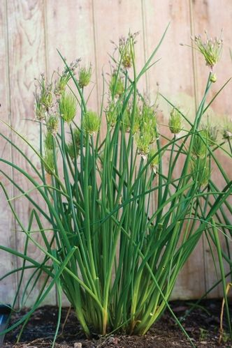 Chive Cha Cha Chive Garden Vegetable Edible Garden Chives Plant Planting Herbs