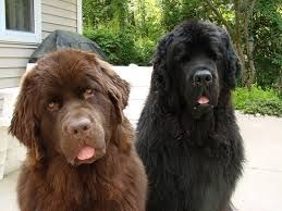 Image Result For Newfoundland Puppies For Sale Australia Chocolate Newfoundland Puppies Puppies Animal Lover