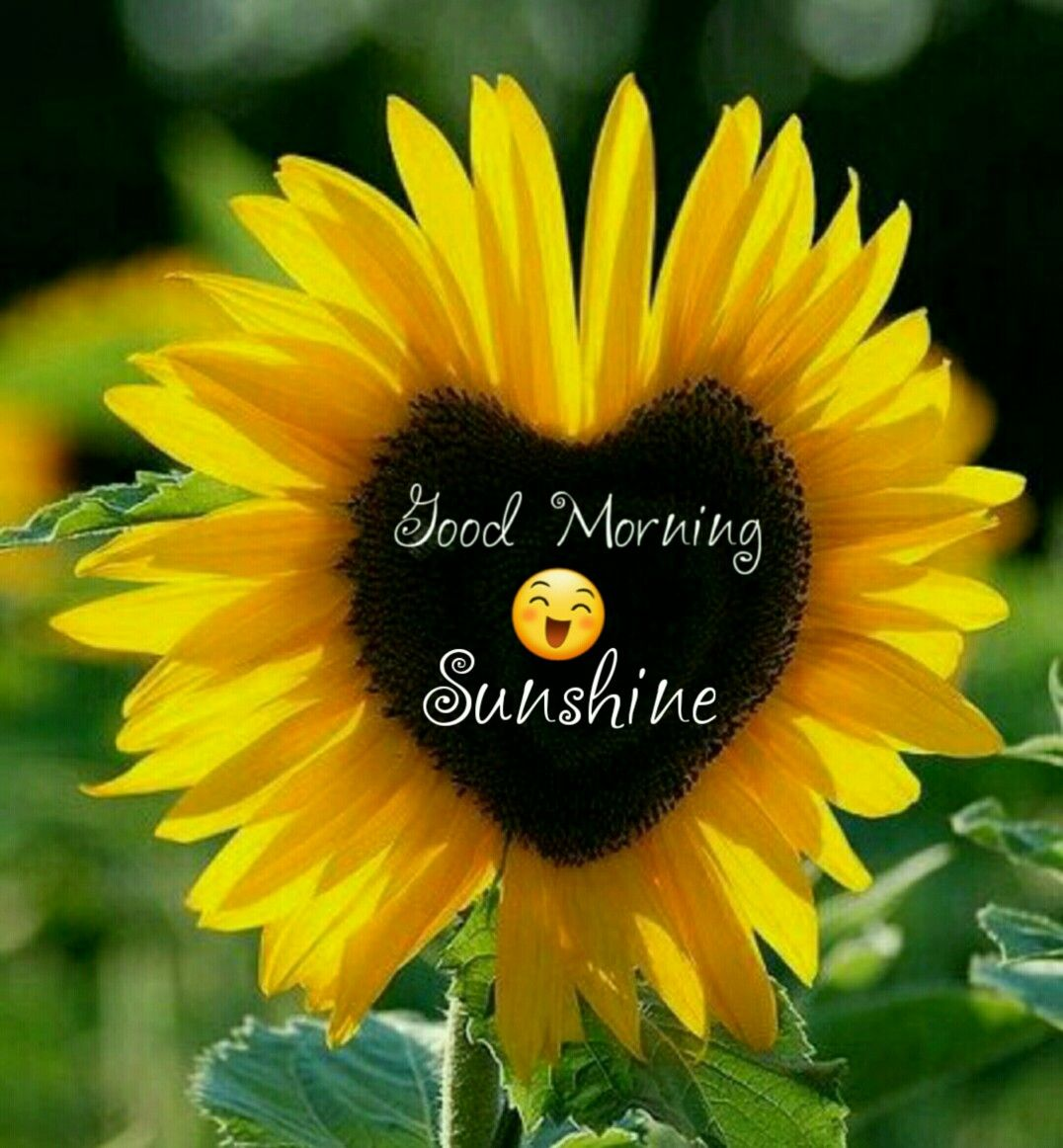 Sunshine Good Morning Beautiful Flowers Sunflower Quotes Good Morning My Friend