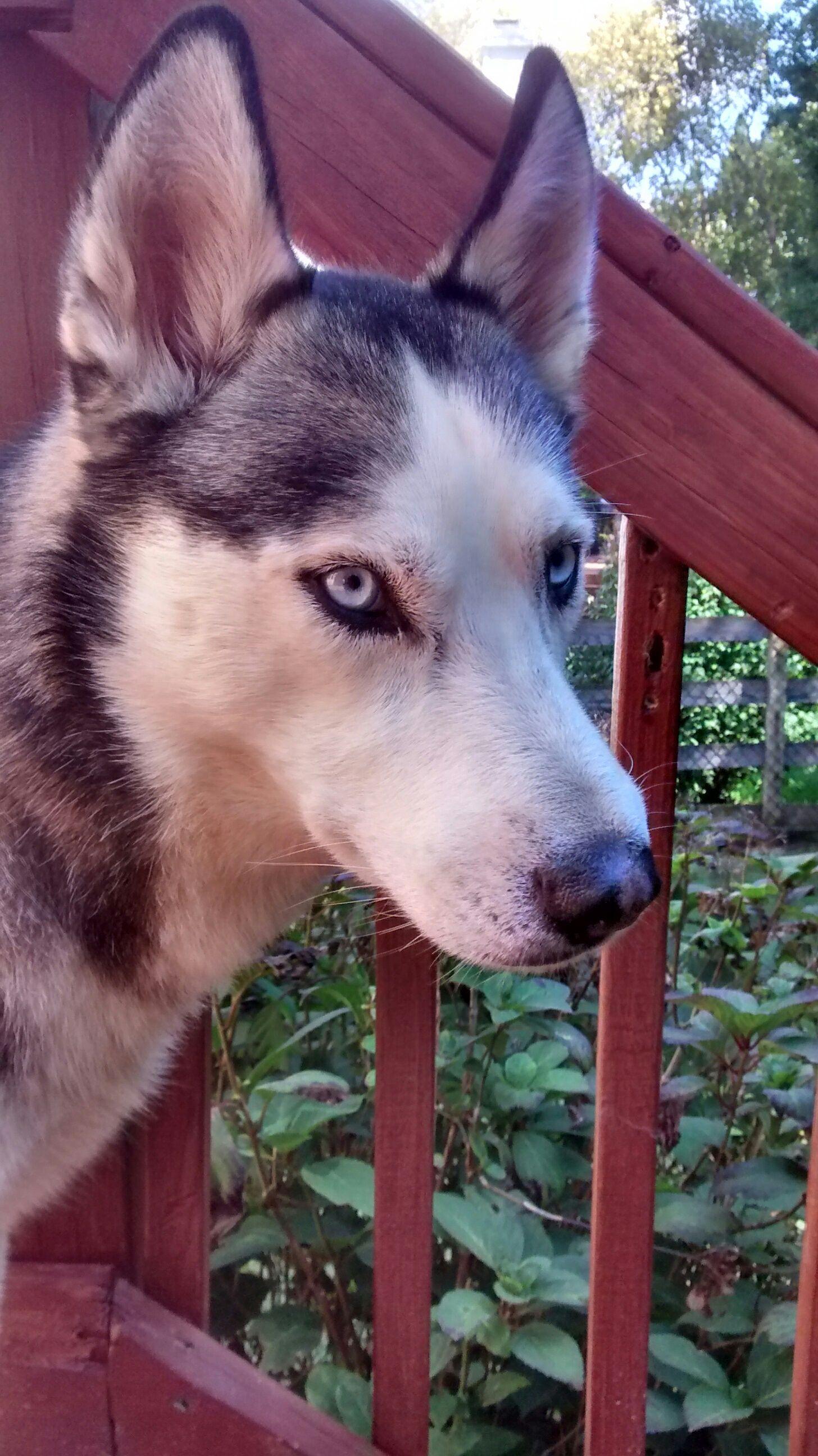 Siberian Husky dog for Adoption in Raleigh, NC. ADN740994