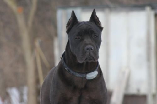 Cane Corso Dogs Puppies For Sale In St Louis Ebay Classifieds
