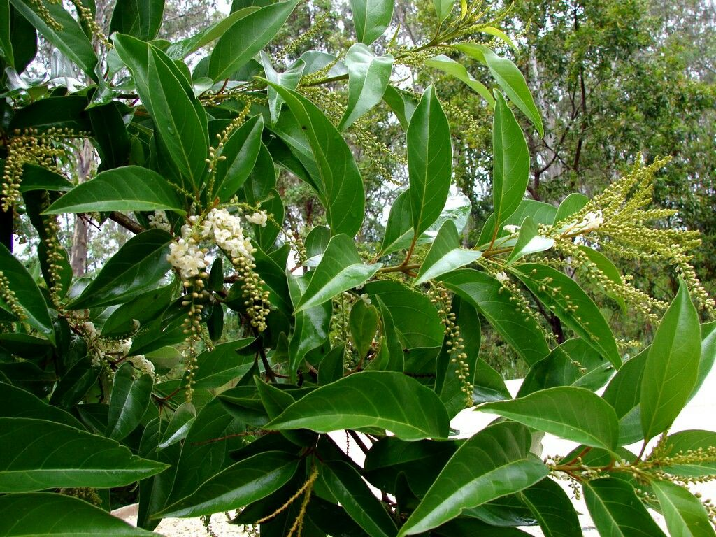 Fiddlewood tree hawaii tropical flowers pinterest tropical flowers fiddlewood tree hawaii izmirmasajfo Images