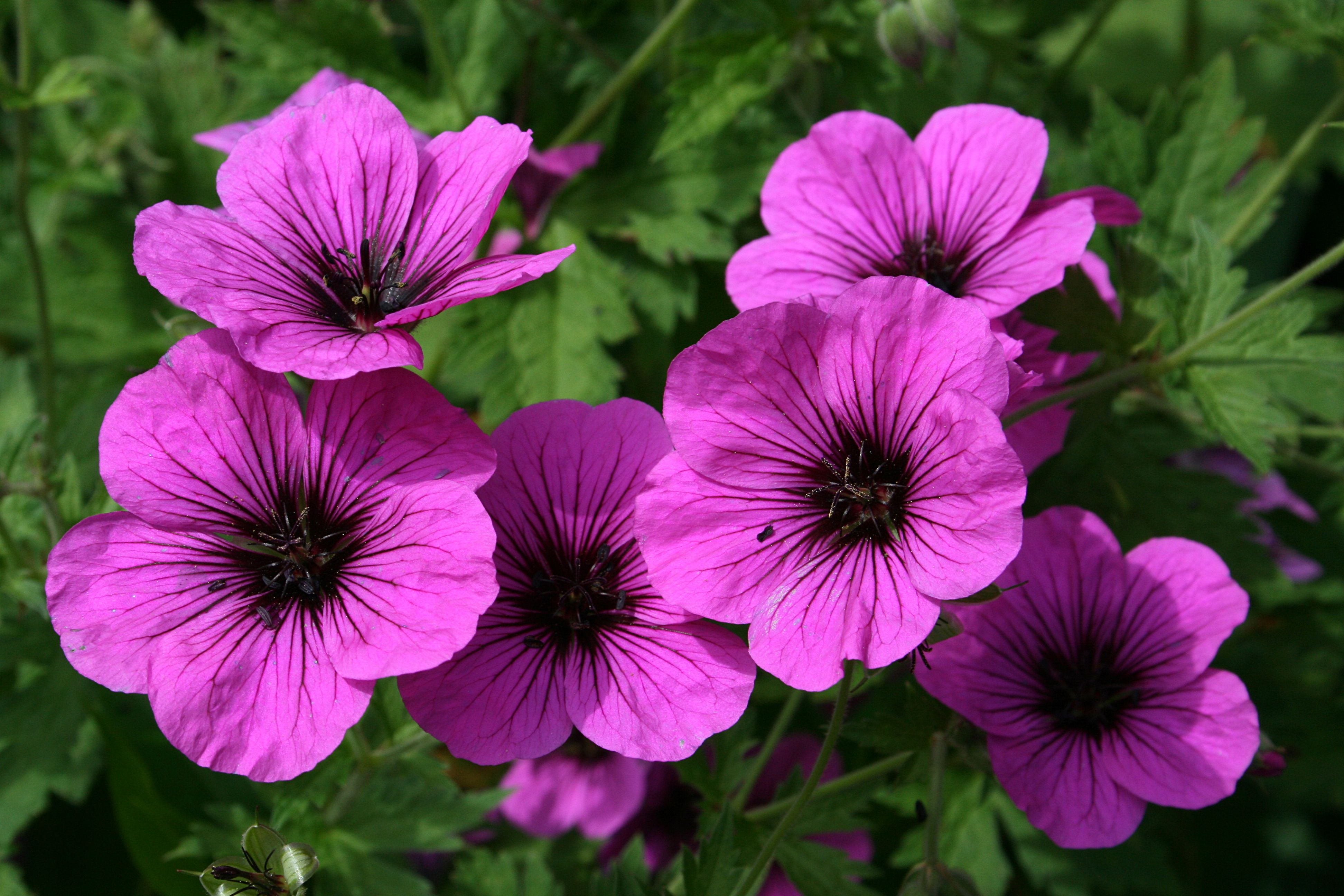 I min have geranium psilostemon armensk storkenb blomstrer get out the dark glasses geranium psilostemon has the most uncompromising colour of any cranesbill it has masses of flowers that are well izmirmasajfo
