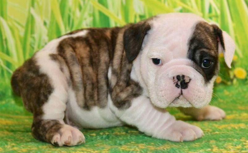 Rowan Is A Brindle Male English Bulldog Puppy American Born And