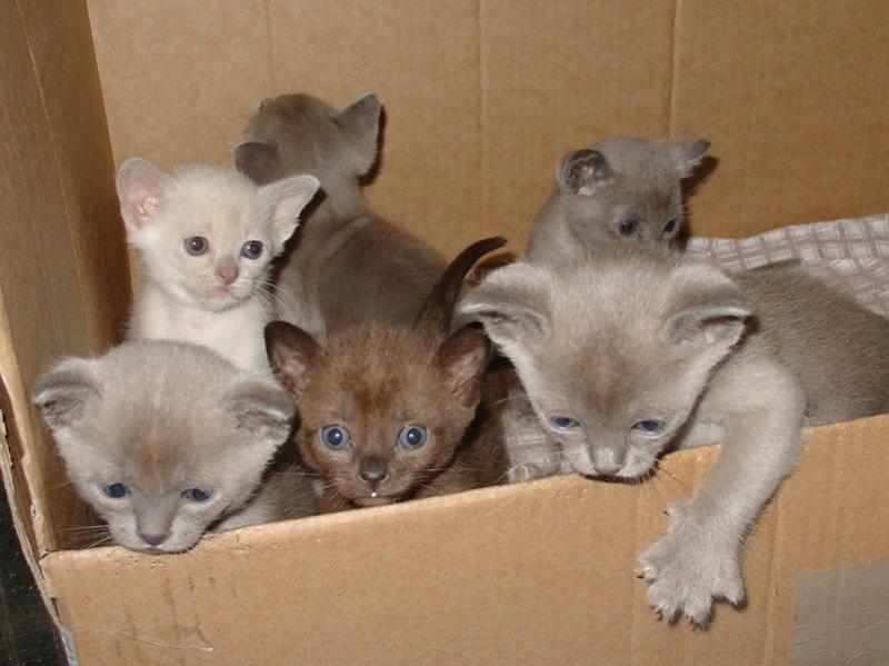 Recherche Burmese Cats Kittens 1 Seal Boy Burmese Cat Beautiful Cats Kittens
