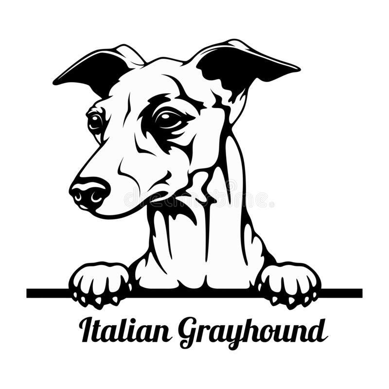 Peeking Dog - Italian Grayhound Breed - Head Isola
