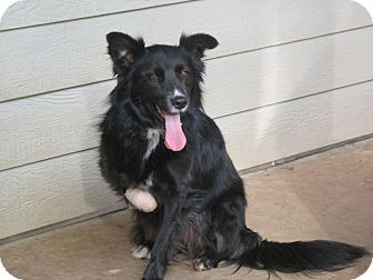 Auburn In Placer County Ca Border Collie Mix Meet Sassy A Dog For Adoption Http Www Adoptapet Com Pet 1 With Images Dog Adoption Border Collie Mix Collie