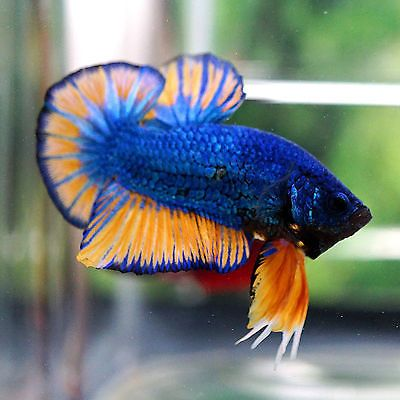 Betta Male Fancy Big Blue Strong Mustard Gas Hmpk Betta Betta Fish Fish