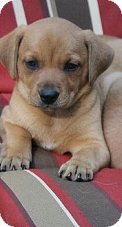 Allentown Pa Dachshund Feist Mix Meet Rainey A Puppy For Adoption Http Www Adoptapet Com Pet 11123917 Allentown Pen Puppy Adoption Pets Kitten Adoption
