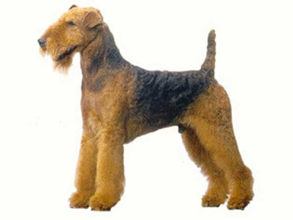 Airedale terrier  #Airedale_terrier #waterside_terrier #bingley_terrier  #dogs #dog_breeds