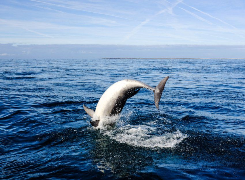 Große Tümmler: Bei einer Fahrt im Unesco-geschützen Meeresnaturpark Iroise, zu dem auch die Insel Ouessant gehört, zeigen sich die großen Meeressäuger verspielt.